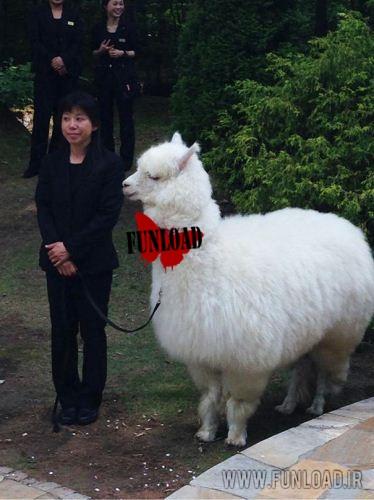 Alpaca camel Wedding Bridesmaid